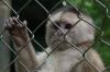 Capuchino o Mico (cappucino monkey), Zoológica El Arca EC