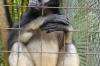 Mono Araña de Vientre Amarile (white bellied spider monkey), Zoológica El Arca EC