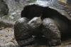 Tortuga de Galapagos (Galapagos Turtle), Zoológica El Arca EC