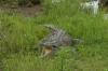 Crocodilo Americano, Zoológica El Arca EC