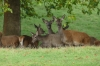 Deer in Deer Park, Windsor GB