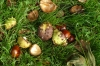 It's Autumn and the chestnuts are falling in Windsor Great Park GB