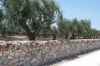 Dry stone walls, just outside Alberobello