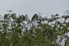 Green parrot. Anavilhanas Archipelago on Rio Negro BR