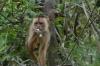 Cappuccino Monkey. Ariaú River off the Rio Negro BR