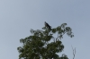 Eagle. Ariaú River off the Rio Negro BR