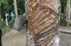 Tapping the tree. Seringal Vila Paraiso Museum (rubber museum), Rio Negro BR