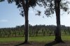 Vasse Felix Vineyard
