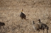 Yellow Necked bird, Ambesoli National Park, Kenya