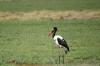 Spur Winged Northern Goose, Ambesoli National Park, Kenya