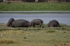 Hippoptamus, Ambesoli National Park, Kenya