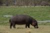 Hippopotamus, Ambesoli National Park, Kenya