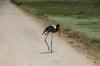 Saddle Billed Stork, Ambesoli National Park, Kenya