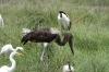 Giant Stork, Ambesoli National Park, Kenya