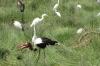 Saddle Billed Stork with fish, Ambesoli National Park, Kenya