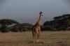 Giraffe, Ambesoli National Park, Kenya