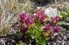 Mountain flowers, La Coma, Andorra