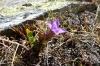 Mountain flower, La Coma, Andorra