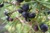Berries at La Massana, Andorra
