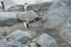 Penguins at Brown Station (Argentina), Antarctica