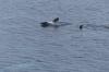 Orcas playing near Wiencke Island, Antarctica