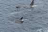 Orcas playing near Wiencke Island, Antarctica