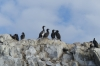 Blue-eyed Shags nesting at Jougla Point on Wiencke Island, Palmer Archipelago, Antarctica