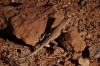 Lizard, Arches National Park, North & South Windows