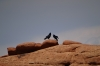 Crows don't always agree. Fin on Devil's Head trail, Arches National Park