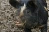 Moody Neale pigs (Ironage+Berkshire cross), getting fat, Burton Bradstock UK