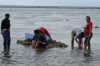 Cleaning cow's stomach, a local delicacy, Low tide opposite the Little Italy Hotel, Nuku'alofa, Tonga