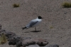 Andes Gull, Laguna Miscanti, Atacama Desert CL