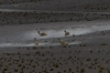 Vicuñas, Laguna Miñiques (1.5 square kilometres), Atacama Desert CL