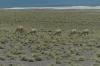 Vicuñas, Atacama Desert CL