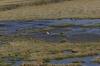 Flamingo. Vicuñas. Putana Wetlands, Atacama Desert CL