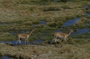 Vicuñas. Putana Wetlands, Atacama Desert CL