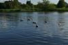 Swans on the River Netta, Augustów PL