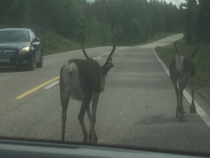 Reindeer on the road between Rovaniemi and Ahttu FII
