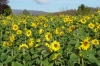 Sunflowers in Bammenthal