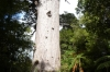 Tāne Mahuta, Lord of the Forest, is the largest living kauri tree in New Zealand, in Waihoua forest NZ