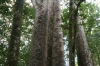 Four sisters, Kauri trees in the Waipoua forest NZ