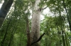 large Kauri tree in Waihoua forest NZ