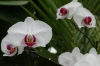 Orchids in the green house, Umi-Jigoku hot springs, Beppu, Japan