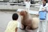 Pet the Walrus at Umitamgo (aquarium), Oita, Japan.  From very northern Pacific and Arctic seas.