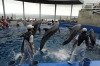 Continuous shooting mode during the dolphin act at Umitamgo (aquarium), Oita, Japan.