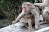 Mt Takasaki Monkey Park, Oita, Japan.