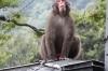 Old fella at Mt Takasaki Monkey Park, Oita, Japan.