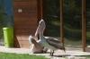 Dalmation Pelicans, Divjake-Karavasta National Park AL