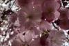 Blossom on Strassburger Strasse, Berlin DE