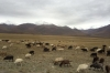 Sheep grazing on the Steppes